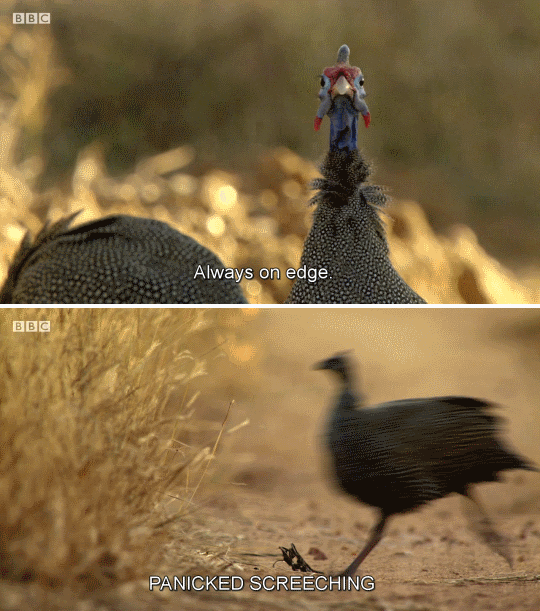 bird meme with screenshots from nature documentary about a stressed bird