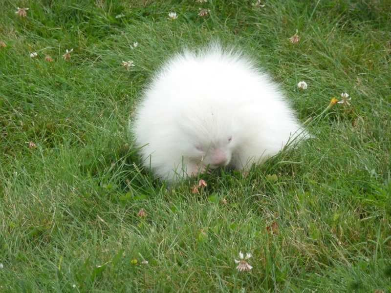 Young albino porcupine found near Maine Museum breaks internet