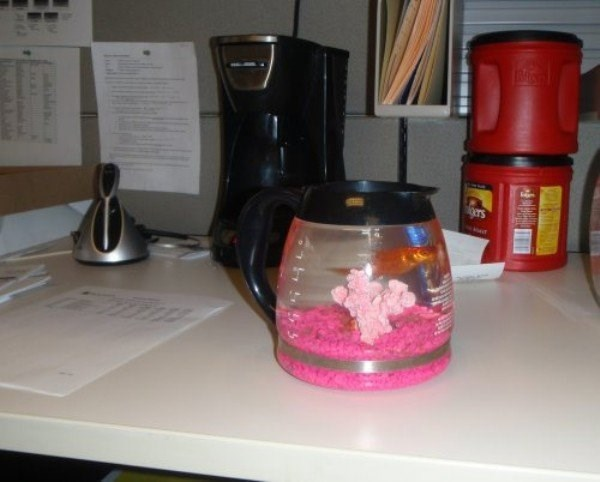 Office prank of gold fish in the office coffee pot.