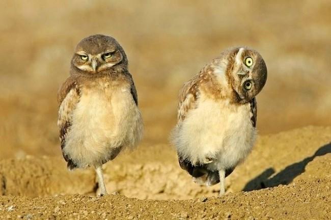 funny owl - Owl