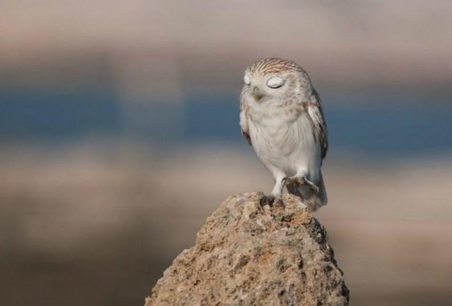 funny owl - Bird