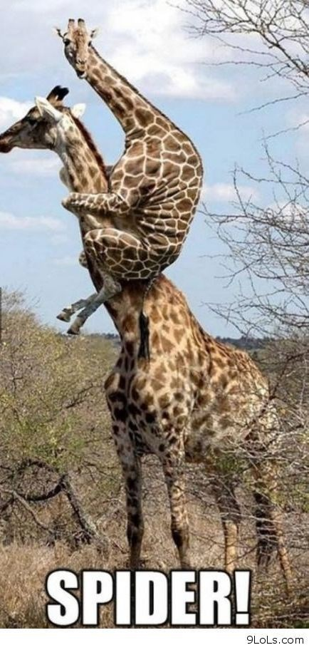 Funny meme of a giraffe that jumped atop another and captioned SPIDER! to imply he is scared.