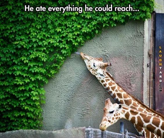 Funny giraffes that ate whatever they can reach.