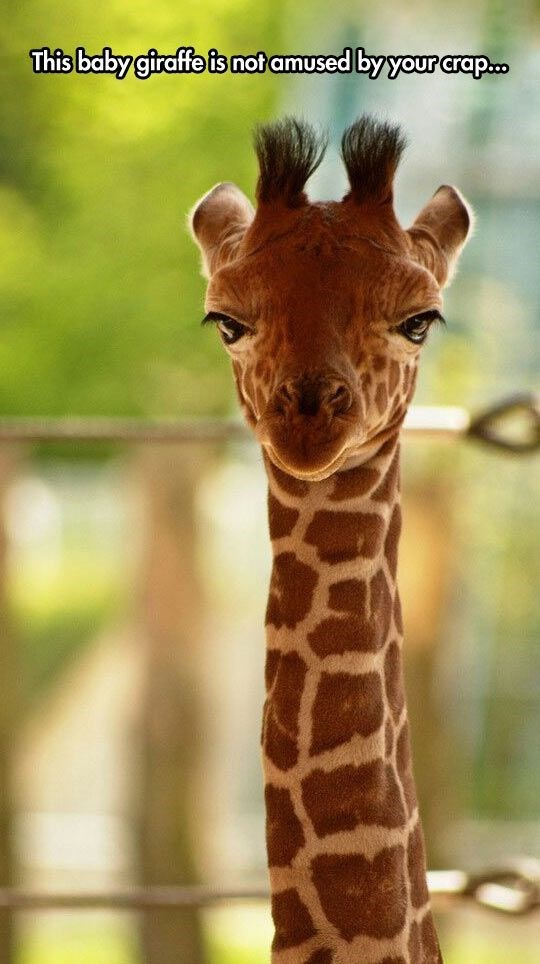 Funny baby giraffe that is not amused by your crap.