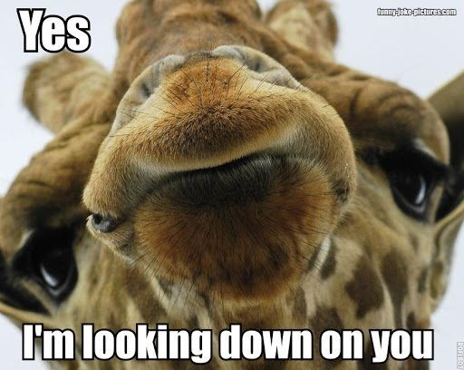 Giraffe meme of yes, looking down on you.