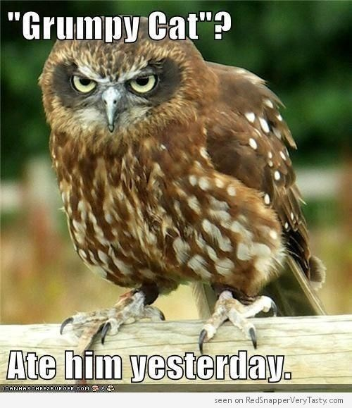 "funny owl - Bird - ""Grumpy Cat""? Ate him yesterday. ICANHASCHEEZEURGER cOM seen on RedSnapperVeryTasty com"