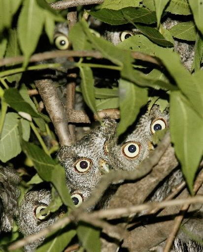 funny owl - Insect