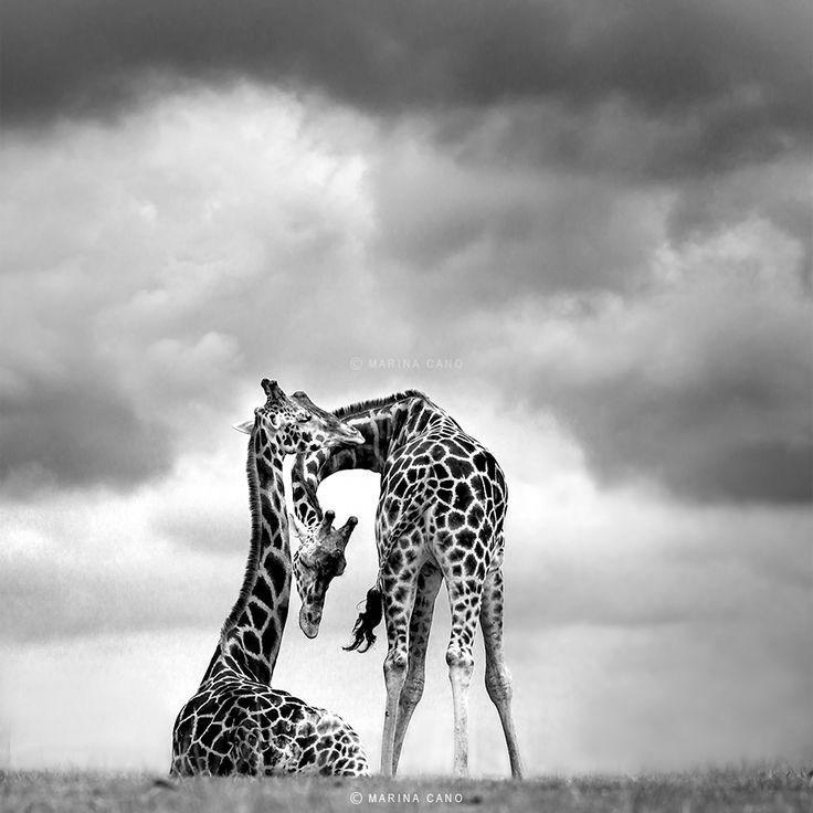Giraffe - MARINA CANO MARINA CANO