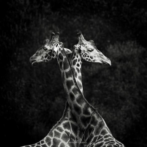 Giraffe - MARINACANO