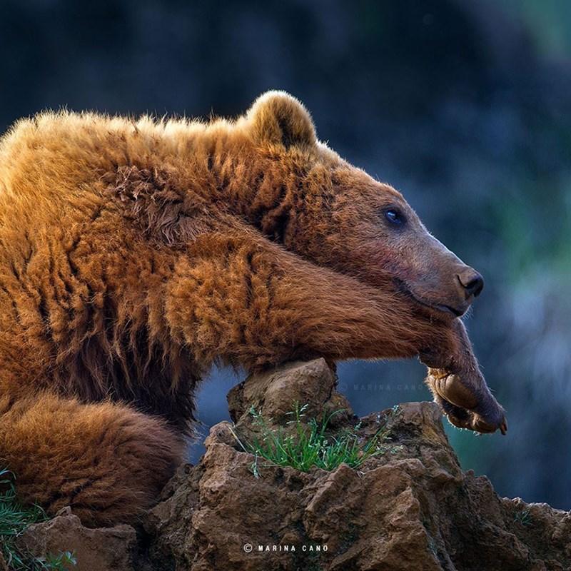 Brown bear - MARINA CANO MARINA CANO