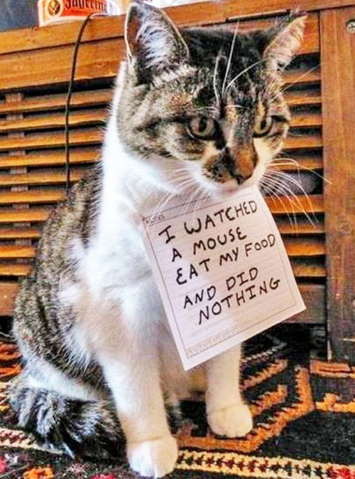 Cat - I WATCHED A MOUSE &AT MY FOOD AND DID NOTHING