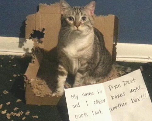 Cat - My name is Pixic Dust and chew boxes until... oooh look another box!