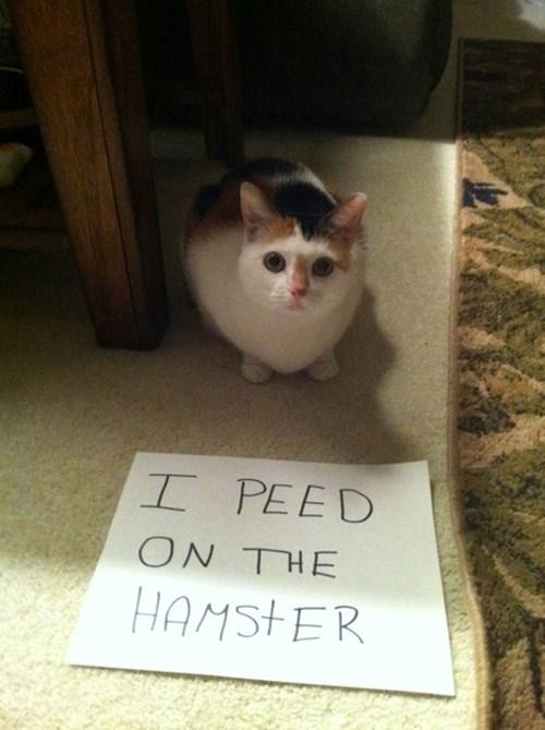 Cat - I PEED ON THE HAMSTER