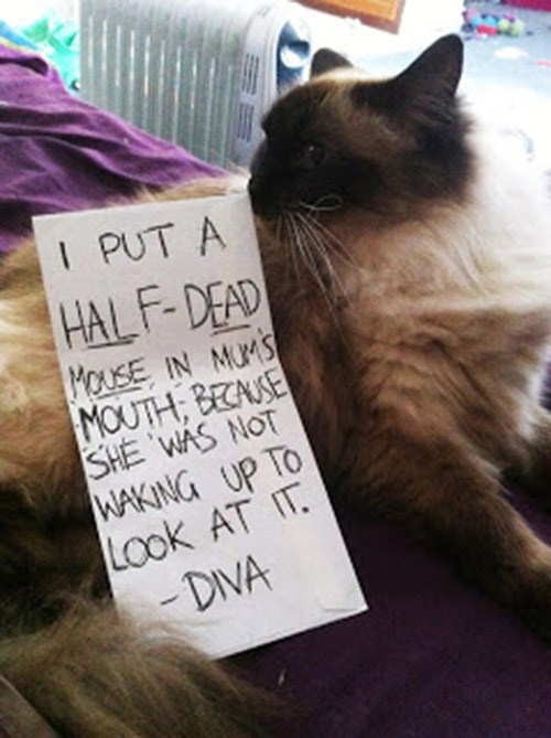 Cat - I PUT A HALF-DEAD MoUSE IN MUMS MOUTH, BECAUSE SHE WAS NOT WAKING UP TO LOok AT IT - DIVA