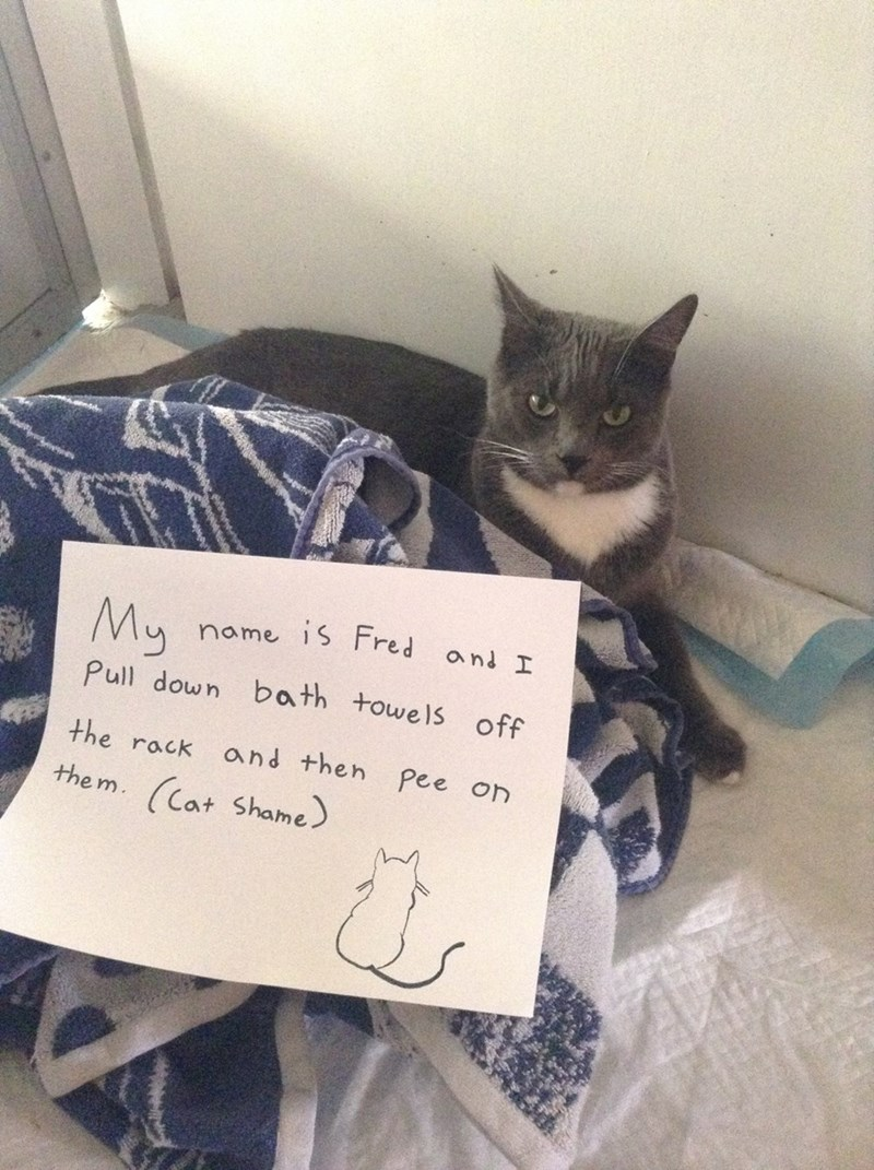 Cat - My name 1S Fred and I Pull down bath towels off the rack and then Pee on the m. (Cat Shame