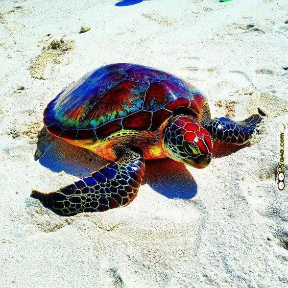 Rainbow colored tortoise walking on the beach.
