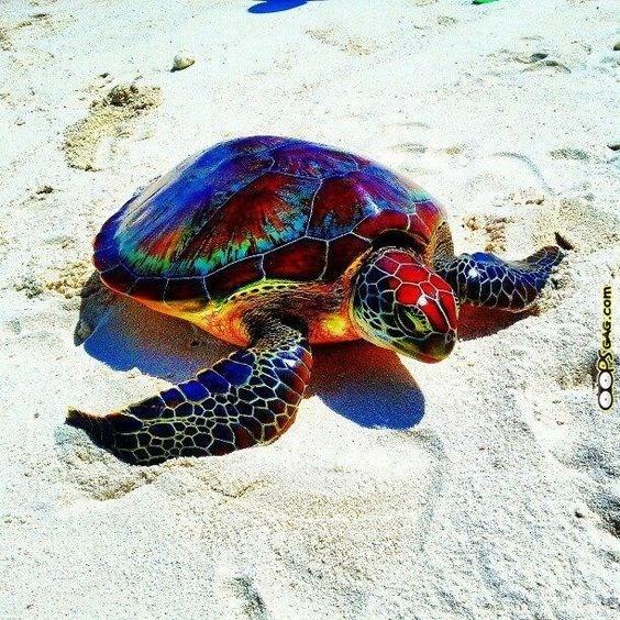 Rainbow colored tortoise walking on the beach.