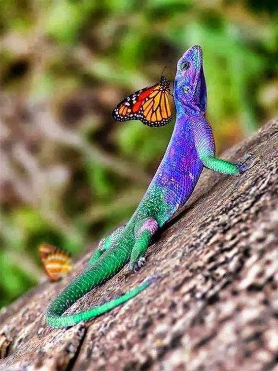 Very colorful green, blue and purple lizard with orange and black butterfly on his back.