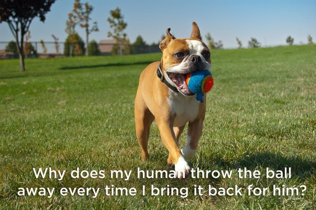 pitbull running on grassy field with ball in mouth shower thoughts dog memes