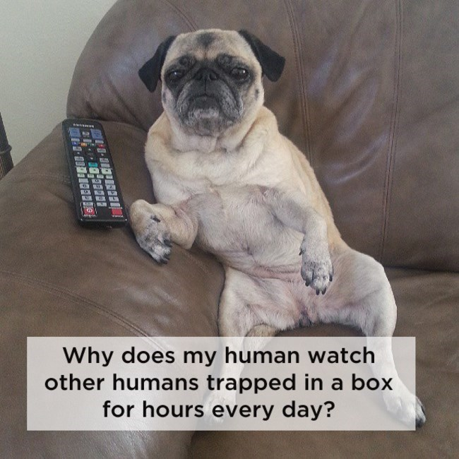 pug looking bored sitting on couch next to tv remote shower thoughts dog memes