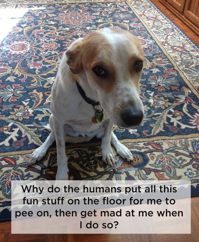 orange and white dog sitting on blue rug looking guilty shower thoughts dog memes