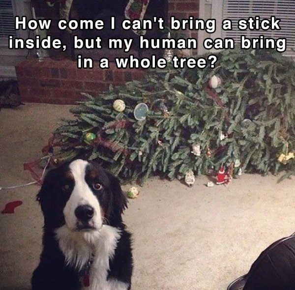 border collie dog looking sad next to fallen down christmas tree shower thoughts dog memes