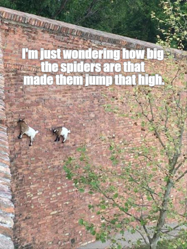 Funny picture of goats that are climbing a wall, captioned into a meme joking that they jumped up there because they saw a spider.