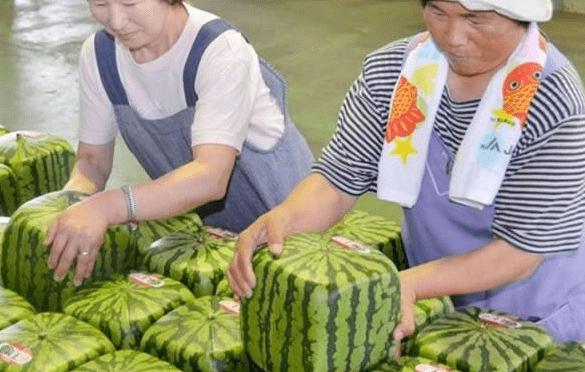 Women packaging cube-shaped watermelons.