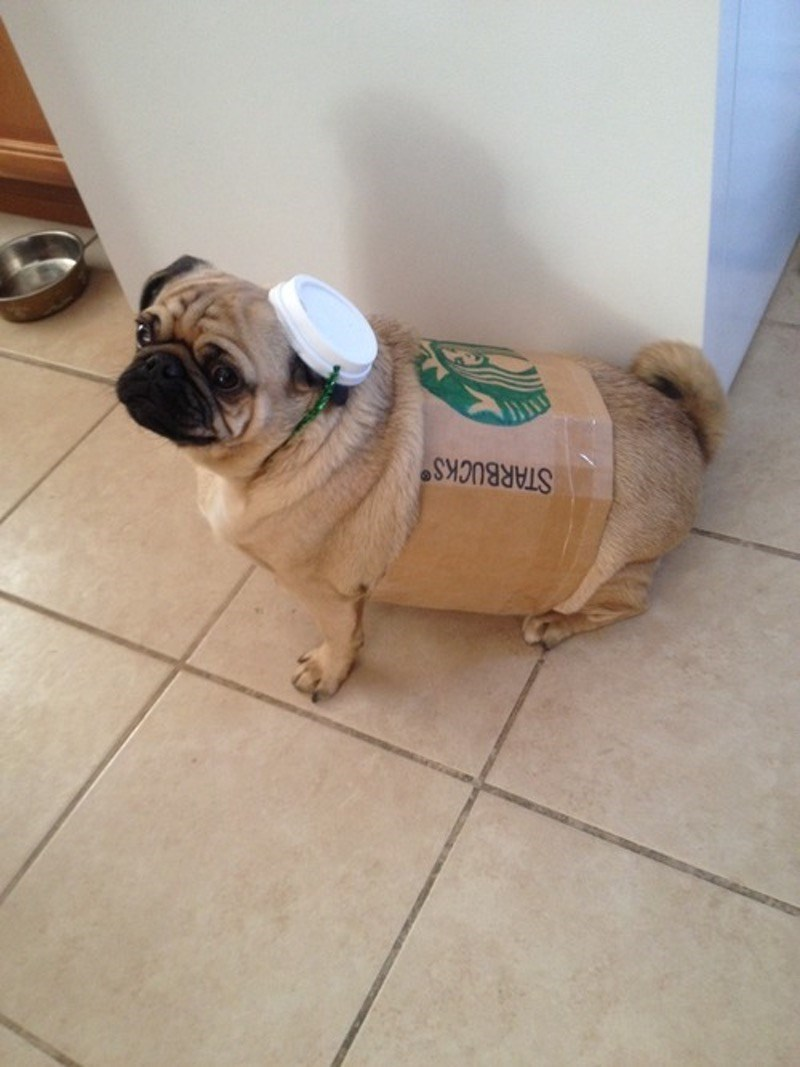 Funny pic of pug dressed up as a Starbucks Coffee.