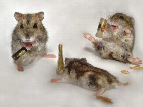 funny hamster may have drank too much