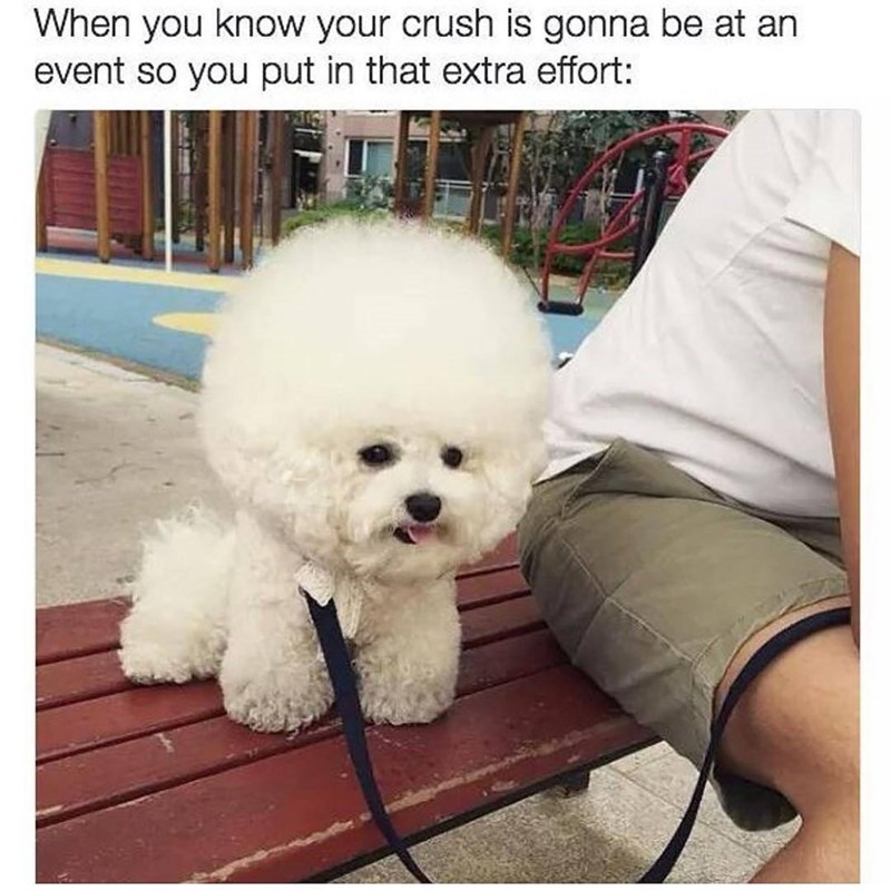 Poodle with hair that is full afro as meme when you crush going to an event so you gotta put in extra effort