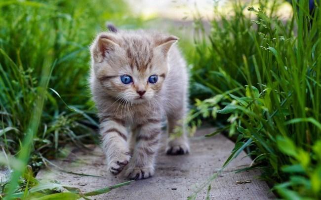 kitten walking between grass blades