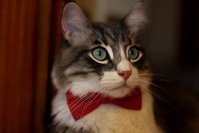 grey and white cat wearing a bow-tie