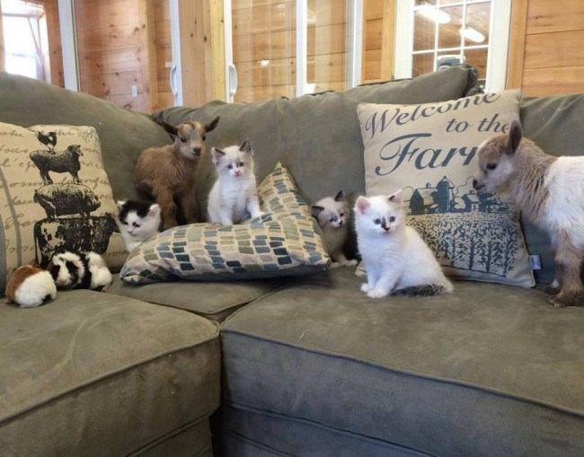 kittens and baby goats sitting on a sofa together