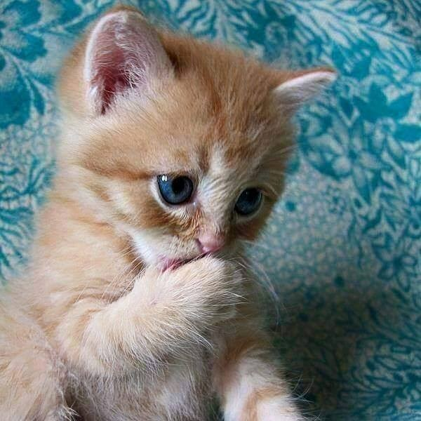 yellow kitten licking its paw