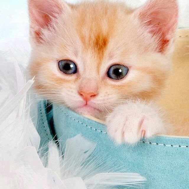kitten sitting inside a blue basket and white feathers