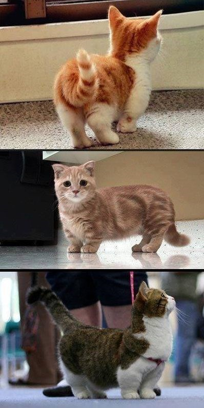 munchkin kittens standing on the floor and looking at something