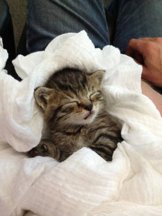 multicolored kitten swaddled in a white sheet