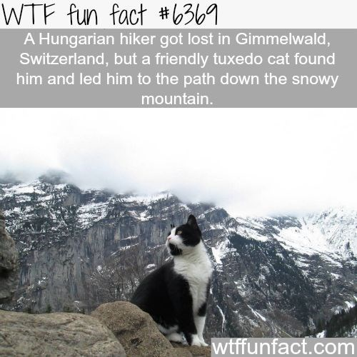 Fun fact about cat that found stranded Hungarian hiker in Switzerland and showed him the way down.