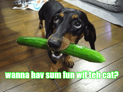 Funny meme of a dog bringing a cucumber to the owner with a caption asking if you want to have some fun with the cat, a reference to several internet videos showing cats freaking out when you have a cucumber sneak up on them while eating.