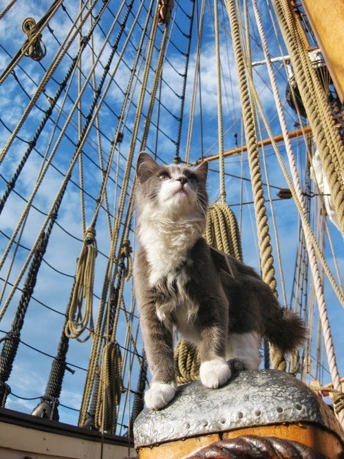 Cool picture of a cat acting like a captain on a sail boat.