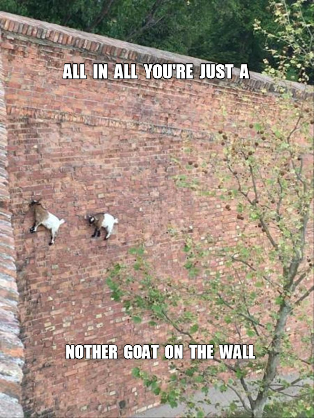 Horrible pun meme of goats climbing up a wall like it is easy.