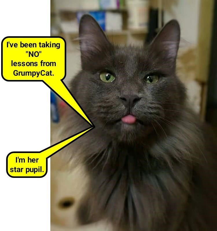 Cat meme of a snobby kitty sticking out the tongue and bragging about how she has been taking NO lessons from Grumpy Cat.