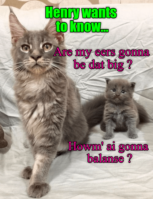 Cat meme of a kitten asking how he is going to balance with such big ears when he is bigger.