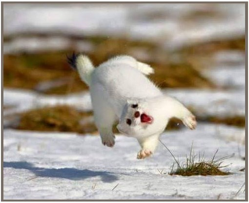 Goofy looking snow white weasel as he runs across melting snows, and gasps in surprise as he almost flips in his stride.