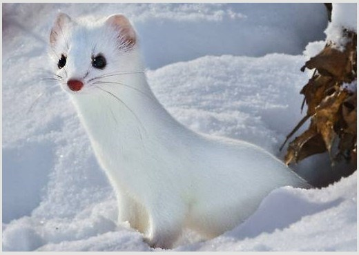 Very cute baby Snow White Weasel playing curiously in the snow.