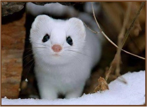 Baby snow white weasel in the winter.