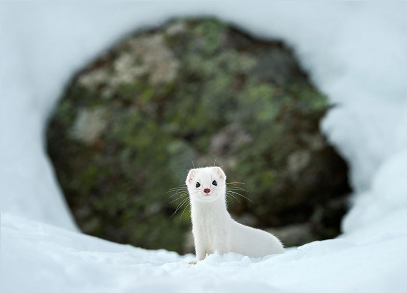 Tunnel shot of a snow white weasel in the whitest part of winter against greenish brown background.