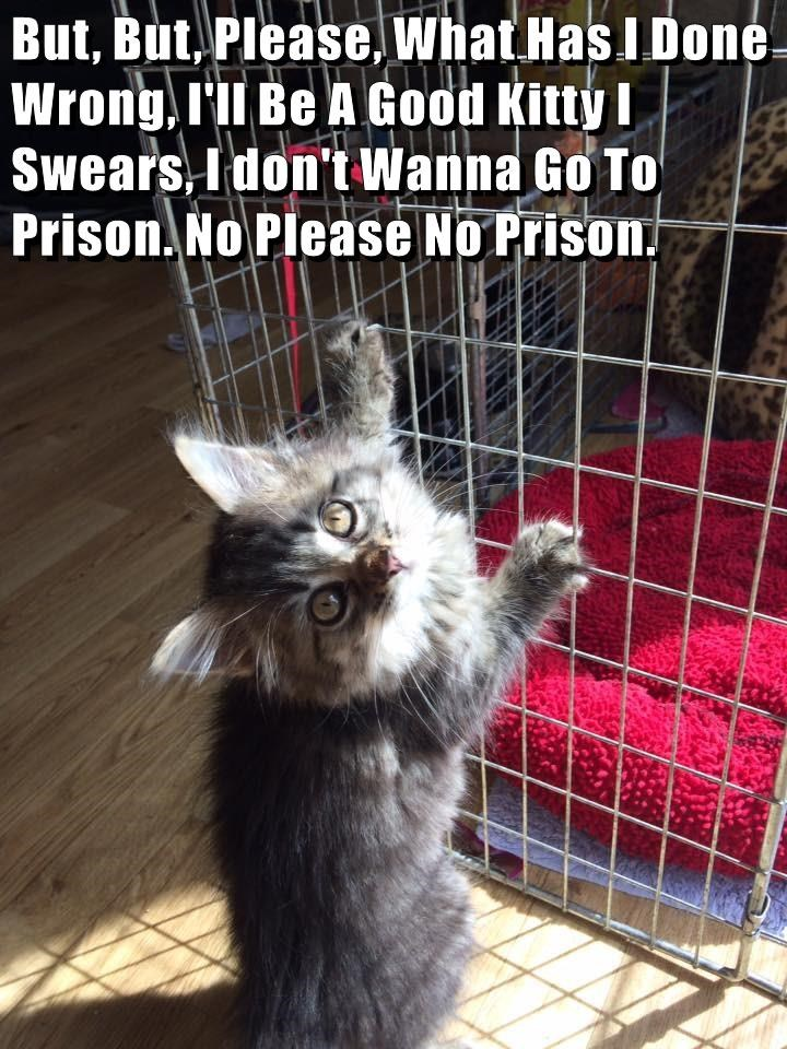 Innocent looking kitten pleads to not throw him in jail because he is not guilty.