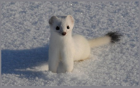 Ermine looks like a Pokemon Character with many features overlapping.